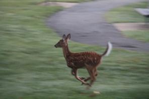 Running faun